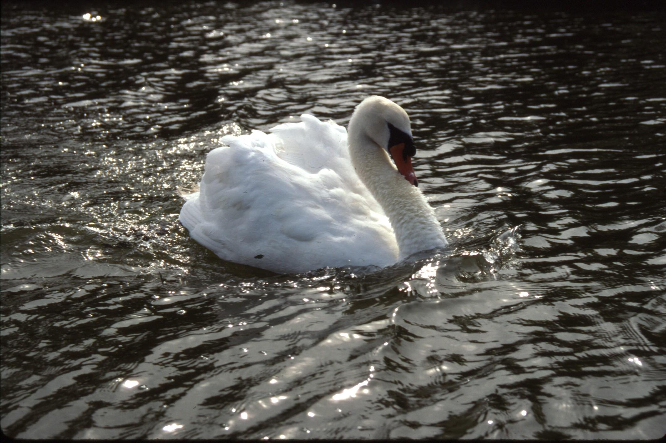 Angry Swan - Coan River, VA