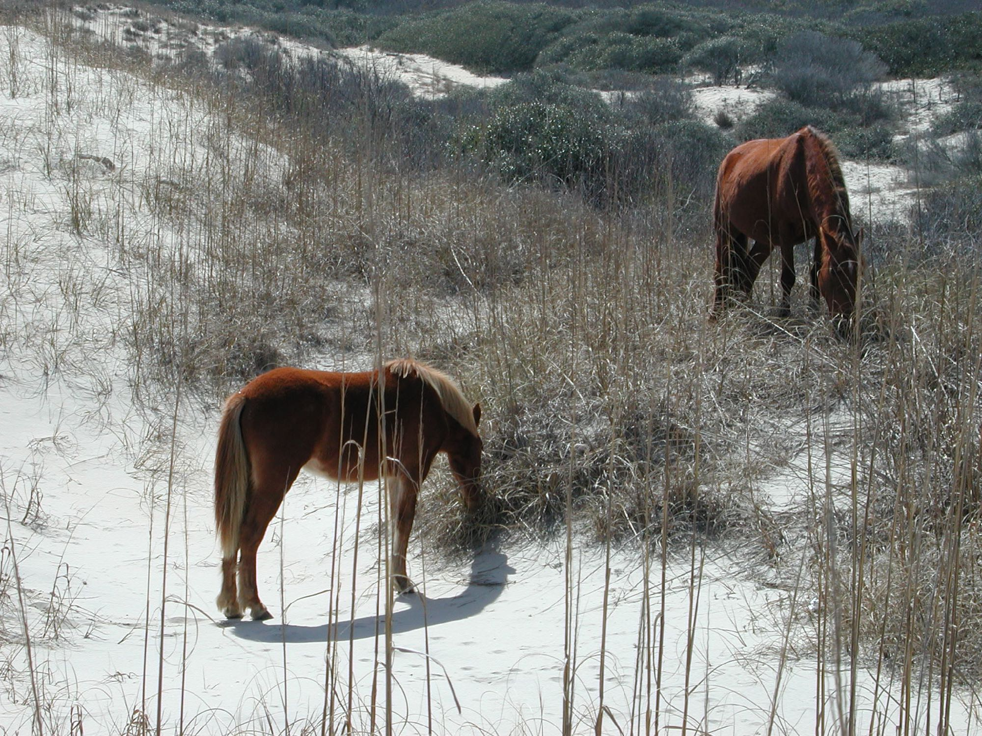 Wild ponies, Assateague, VA