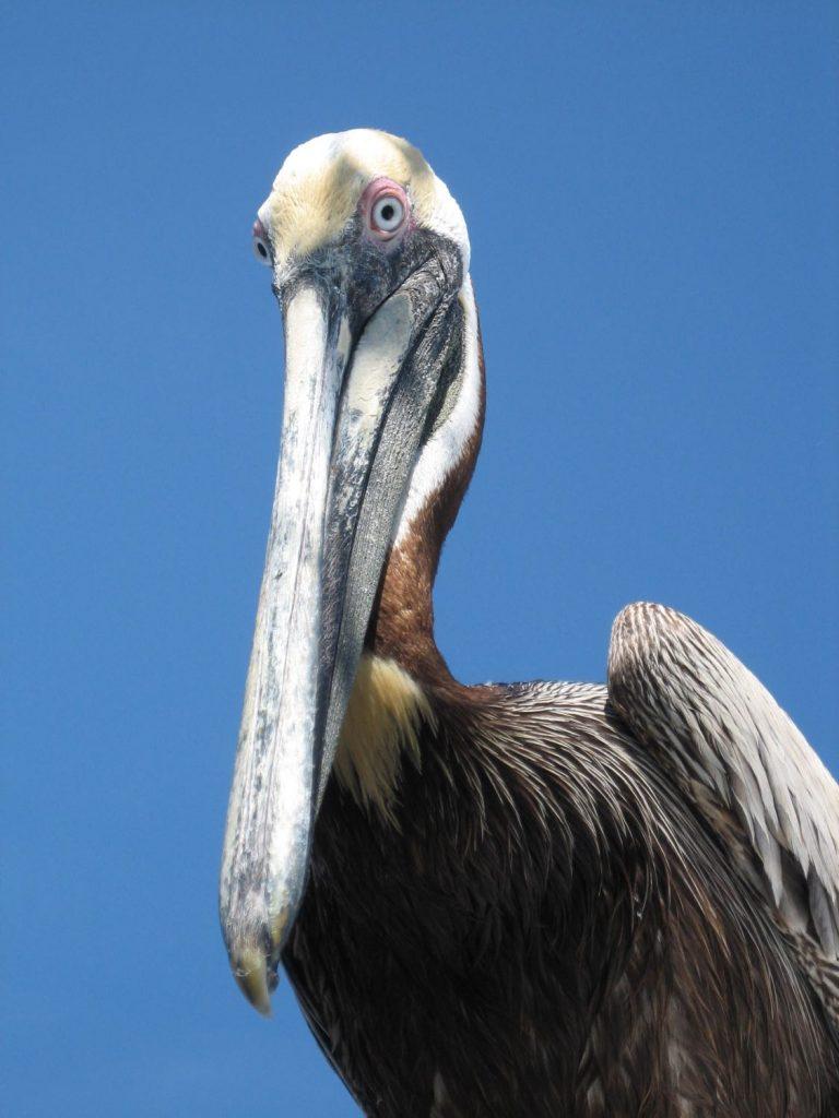 Supercilious Pelican - Key Largo, FL