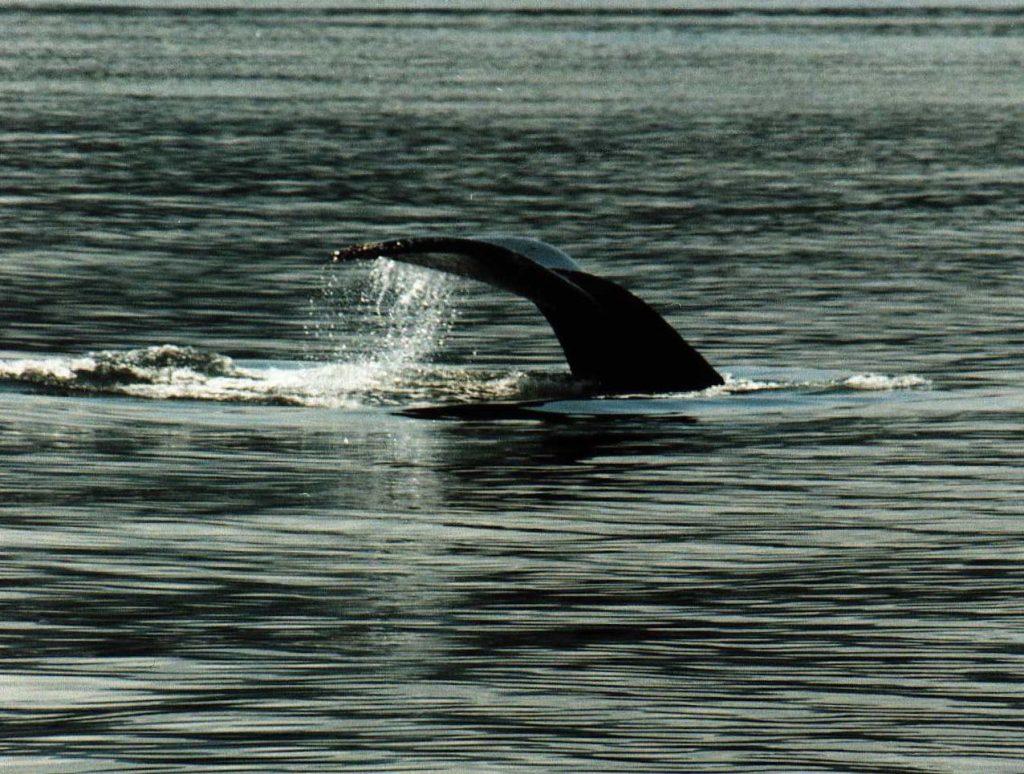 Whale Tail - Inside Passage, Alaska